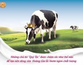 Câu chuyện về những con bò Quý tộc của Sữa Hoàng Gia Úc